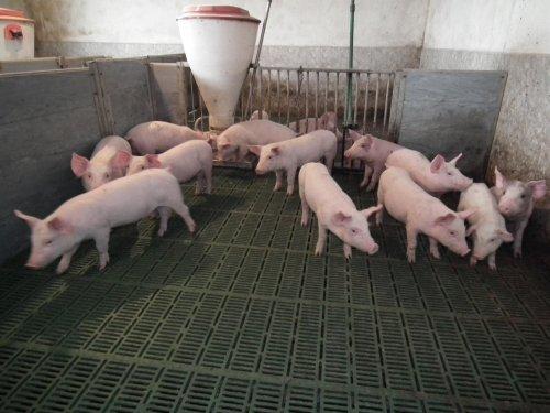 farma-svinja-839